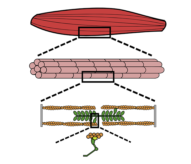Illustration of myosin