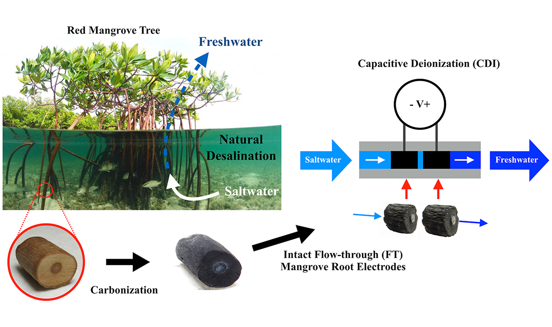 Mangrove trees in water shown next to a diagram on capacative deionization