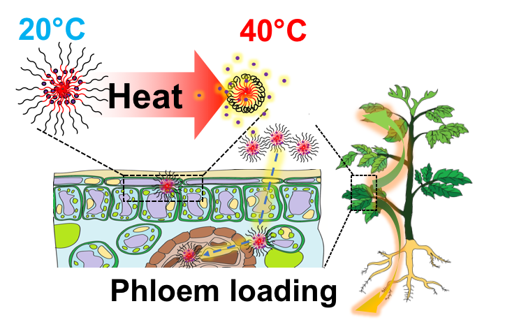 Technical graphic showing phloem loading in a plant due to heat